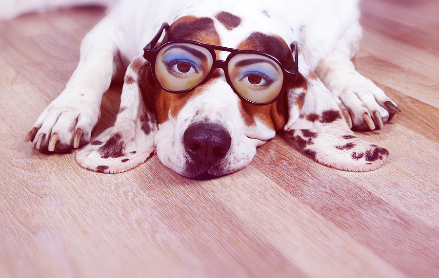 Spanish Hound Dog Lying With Joke Glasses Photograph  - Spanish Hound Dog Lying With Joke Glasses Fine Art Print