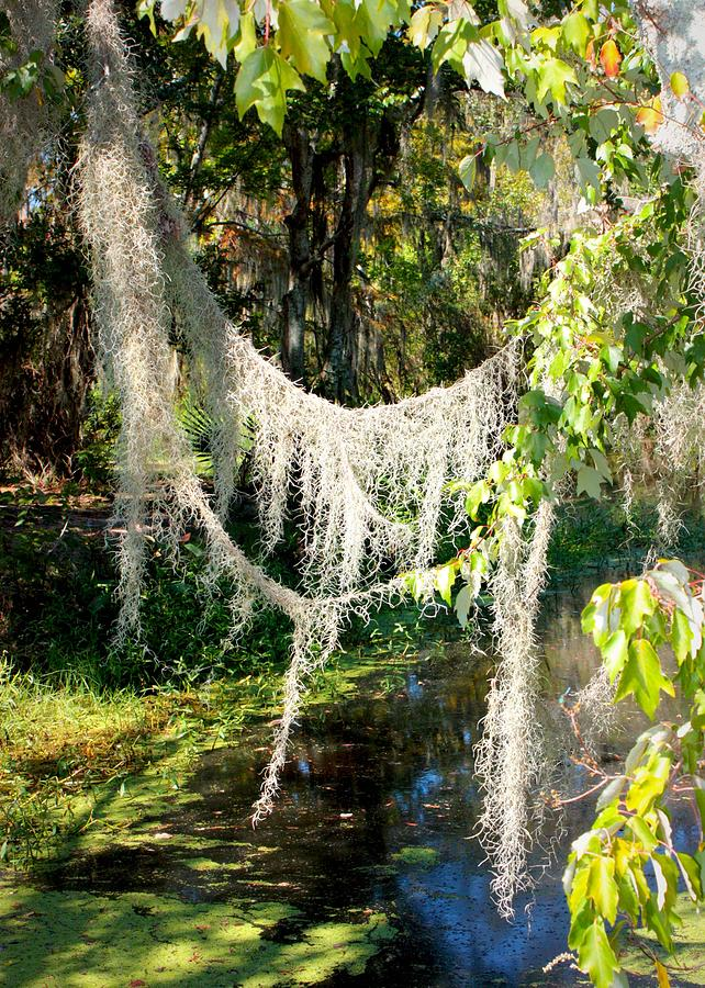 Spanish Moss Over The Swamp Photograph