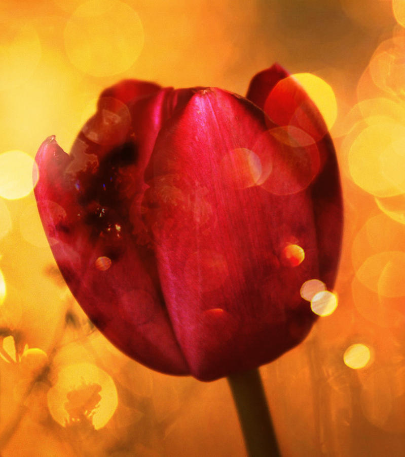 Sparkle Of The Tulip Photograph  - Sparkle Of The Tulip Fine Art Print