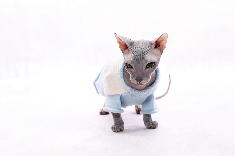 Sphynx Hairless Cat. Photograph