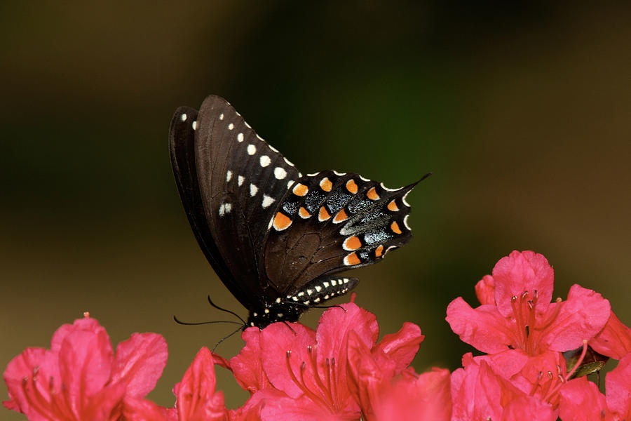 Spice Bush Swallowtail And Azaleas Photograph  - Spice Bush Swallowtail And Azaleas Fine Art Print