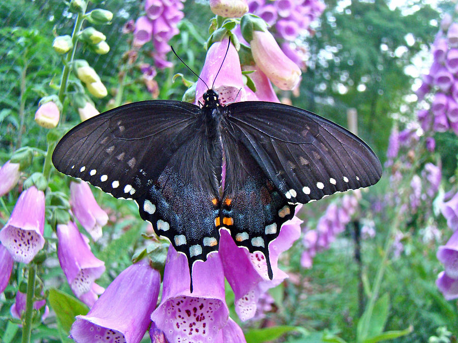 Spicebush Swallowtail Butterfly On Foxgloves - Papilio Troilus Photograph  - Spicebush Swallowtail Butterfly On Foxgloves - Papilio Troilus Fine Art Print