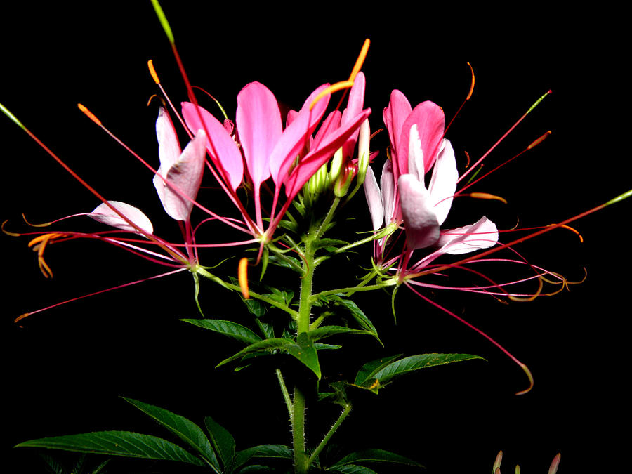 Spider Flower  Photograph  - Spider Flower  Fine Art Print