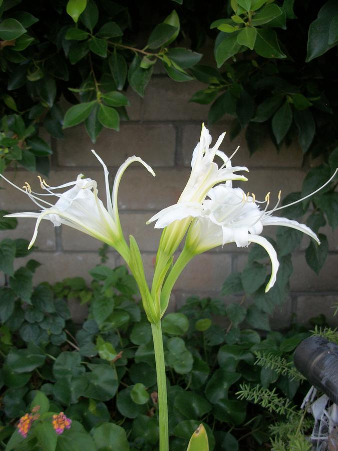Spider Lillies Photograph