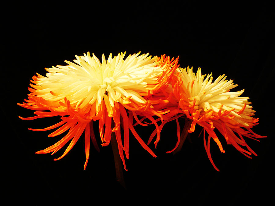 Spider Mums Photograph