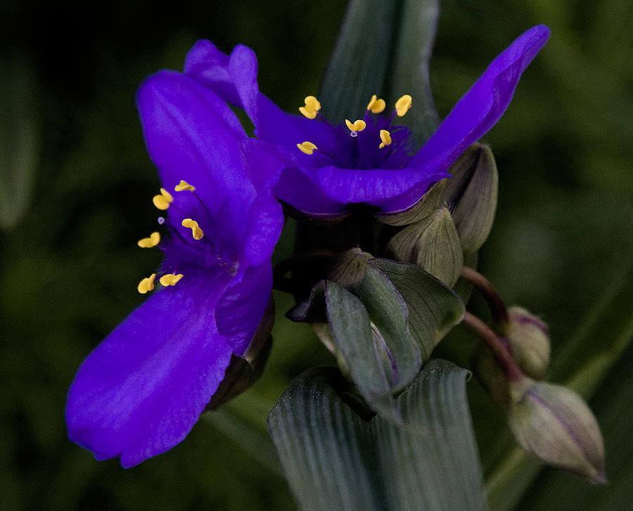 Spiderwort Lovers Photograph  - Spiderwort Lovers Fine Art Print