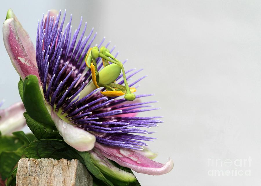 Spikey Passion Flower Photograph  - Spikey Passion Flower Fine Art Print