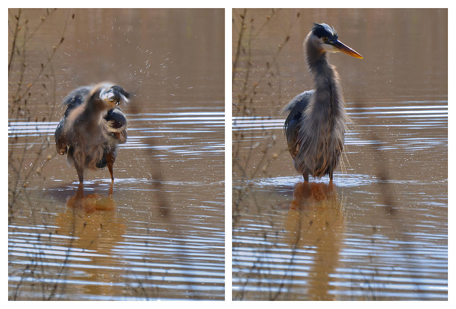 Paul Lyndon Phillips Photograph - Spin And Fluff Dry Heron - C3219d by Paul Lyndon Phillips