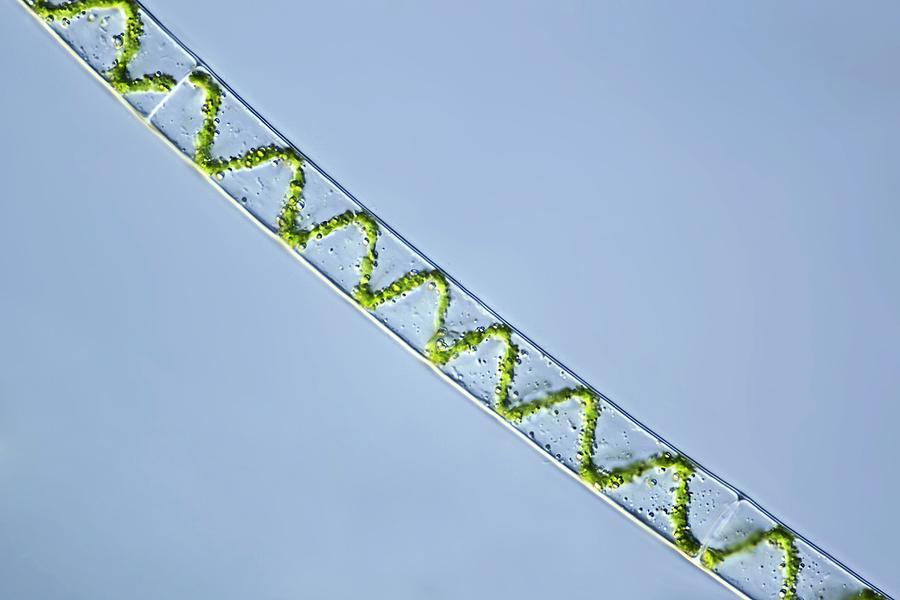 Spirogyra Algae, Light Micrograph Photograph