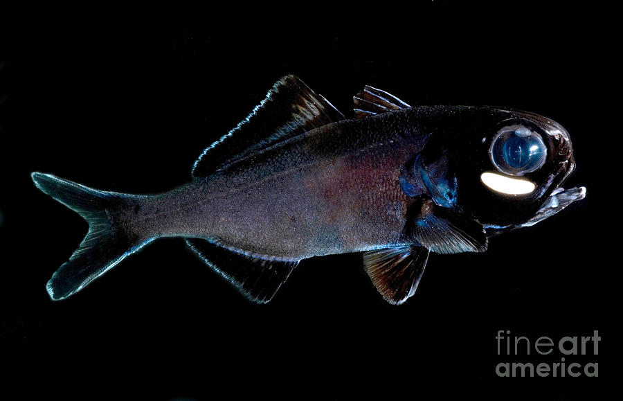 Splitfin Flashlight Fish Photograph - Splitfin Flashlight Fish by Dant ...