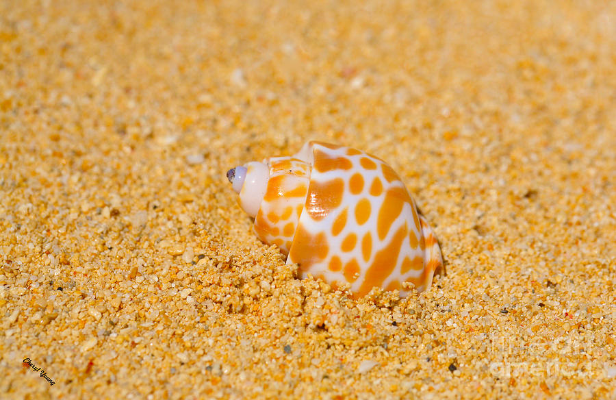 Spotted Babylon Photograph - Spotted Babylon Shell by Cheryl Young
