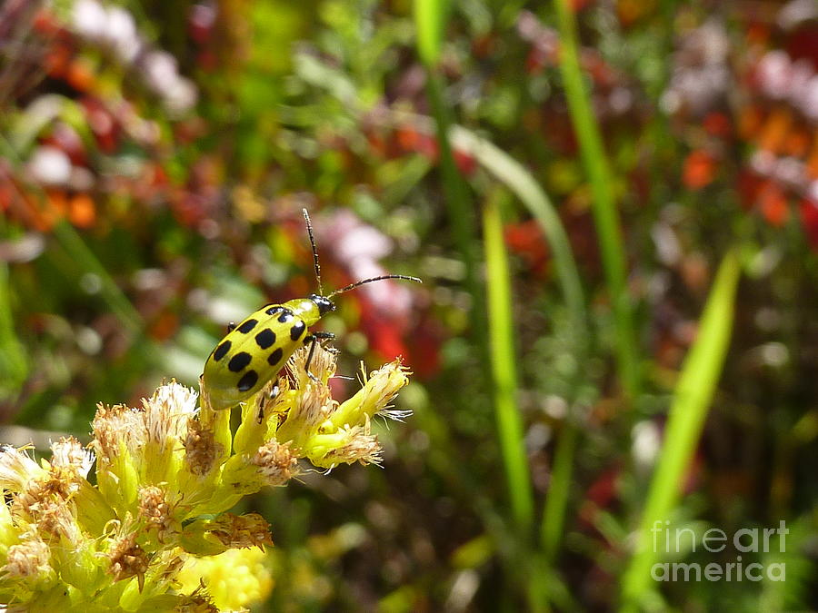 Spotted Cucumber Beetle Photograph