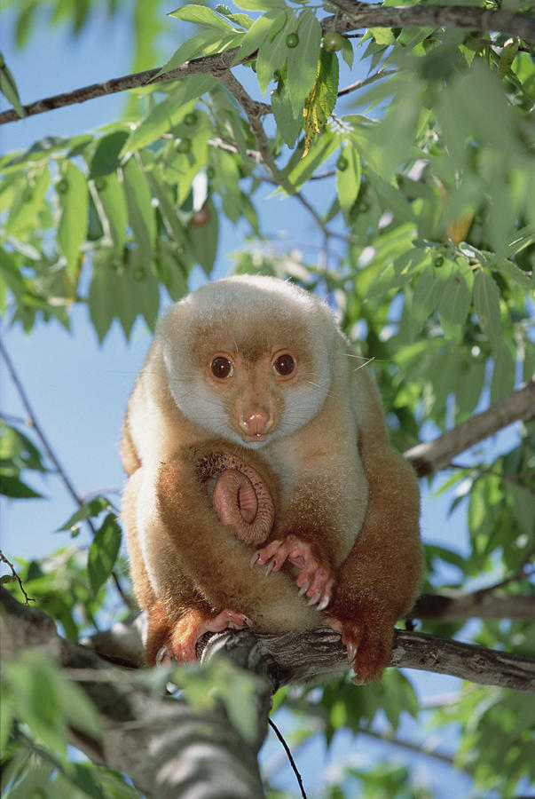 Spotted Cuscus Phalanger Maculatus Photograph By Konrad Wothe