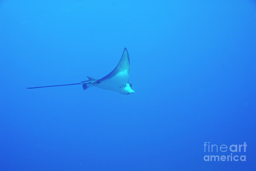 Spotted Eagle Ray Photograph  - Spotted Eagle Ray Fine Art Print