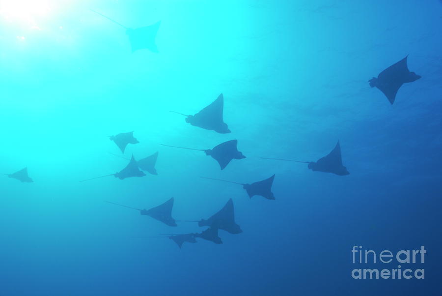 Spotted Eagle Rays Photograph  - Spotted Eagle Rays Fine Art Print
