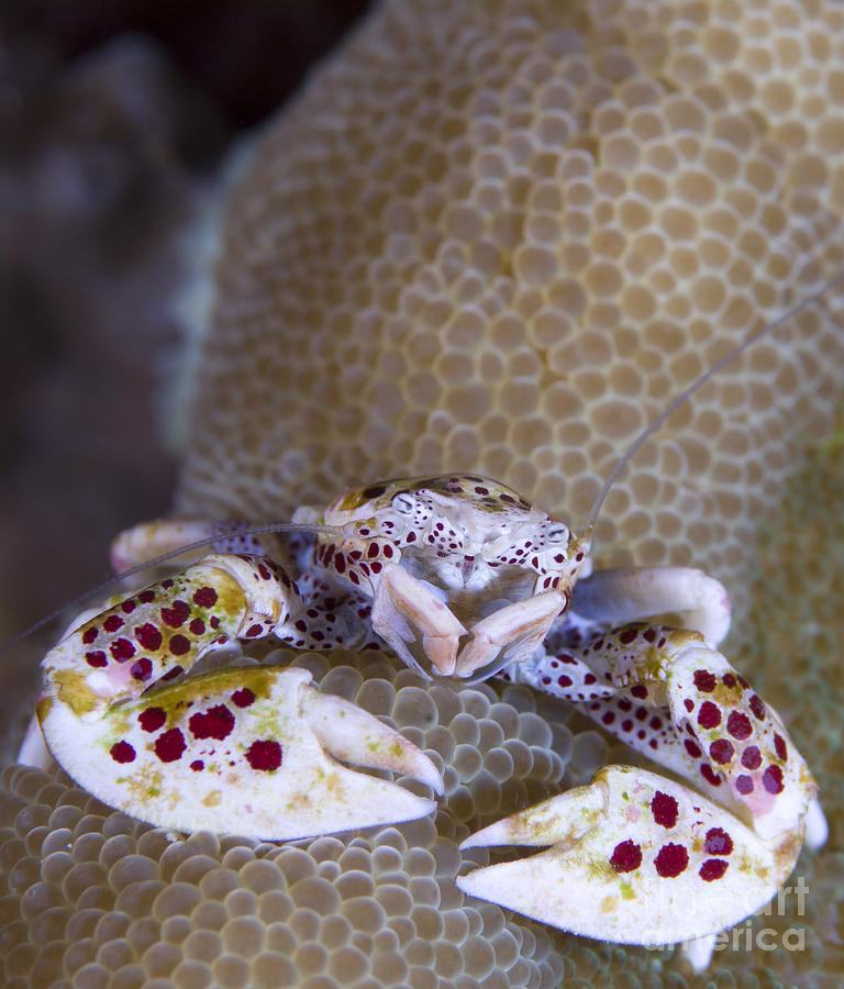 Spotted Porcelain Crab Feeding Photograph