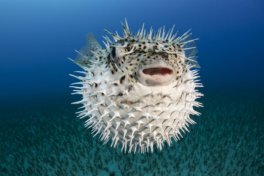 Spotted porcupinefish iii photograph by dave fleetham for Porcupine puffer fish