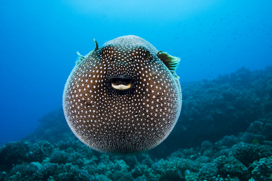 Spotted Pufferfish Photograph