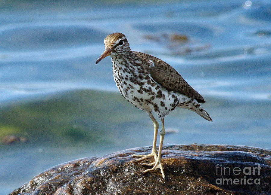 Spotted Sand Piper 6 Photograph