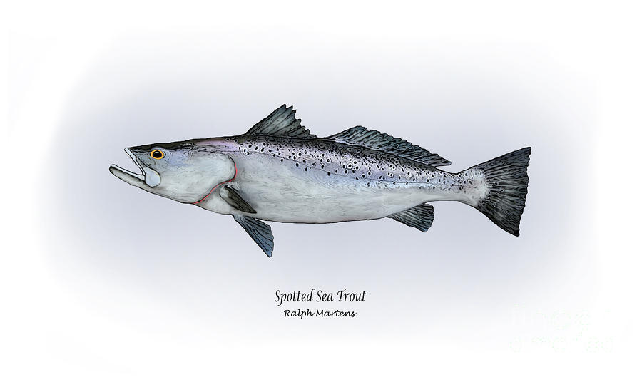 Spotted Sea Trout Painting  - Spotted Sea Trout Fine Art Print