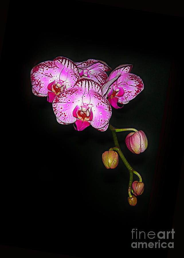 Spray Of Orchids Photograph  - Spray Of Orchids Fine Art Print