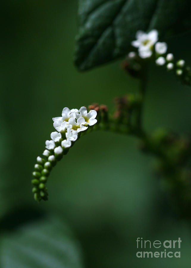 Spray Of White Flowers Photograph