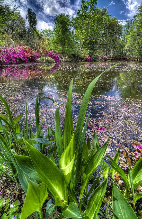 Background Photograph - Spring At Magnolia Plantation - Charleston Sc by Drew Castelhano