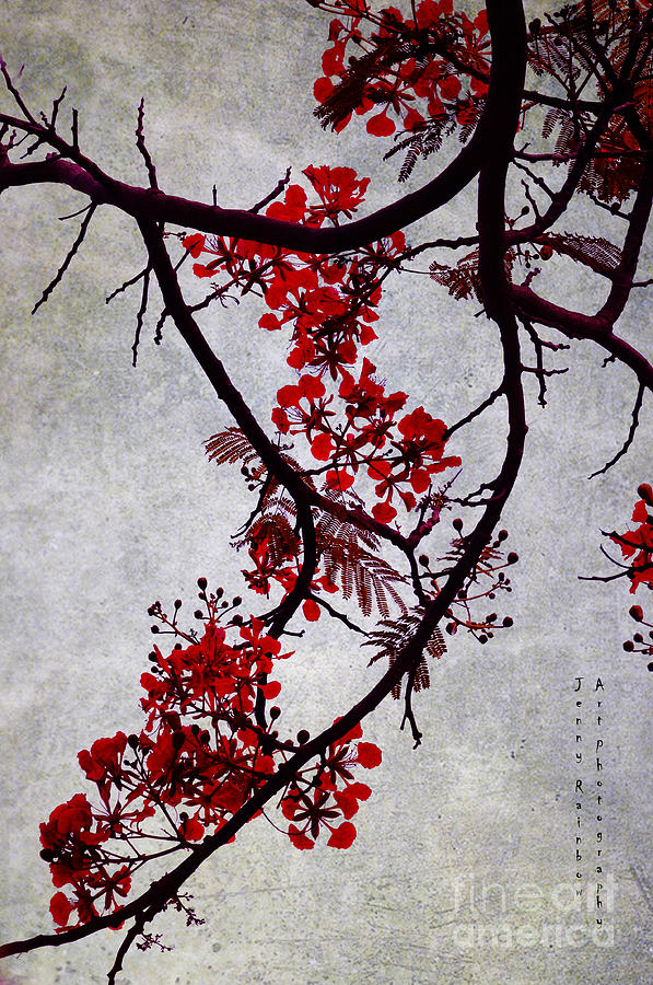 Spring Bloosom In Maldives. Flamboyant Tree II. Japanese Style Photograph  - Spring Bloosom In Maldives. Flamboyant Tree II. Japanese Style Fine Art Print