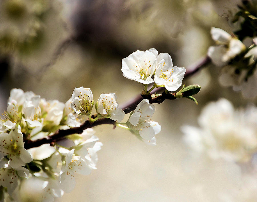 Spring Blossoms Photograph