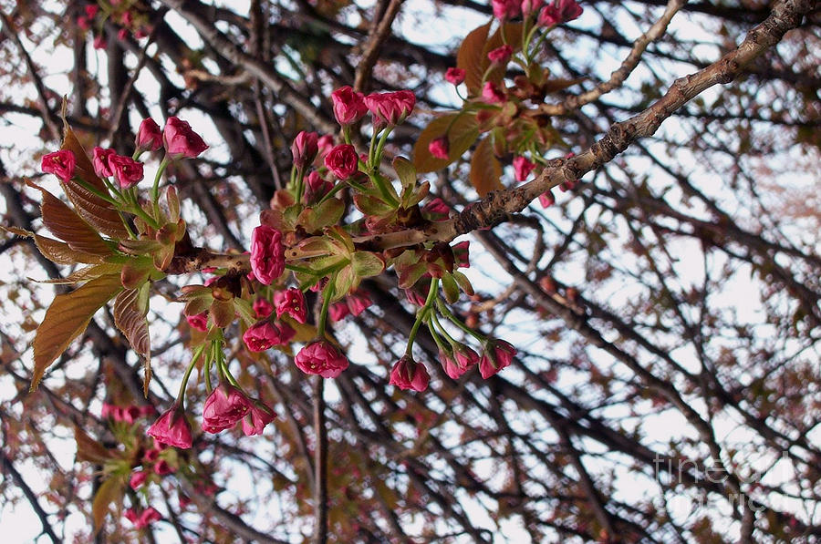 Spring Cherry Blossoms Photograph  - Spring Cherry Blossoms Fine Art Print