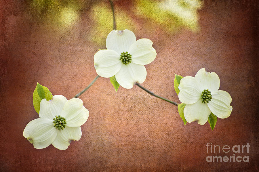 Spring Dogwood Blooms Photograph