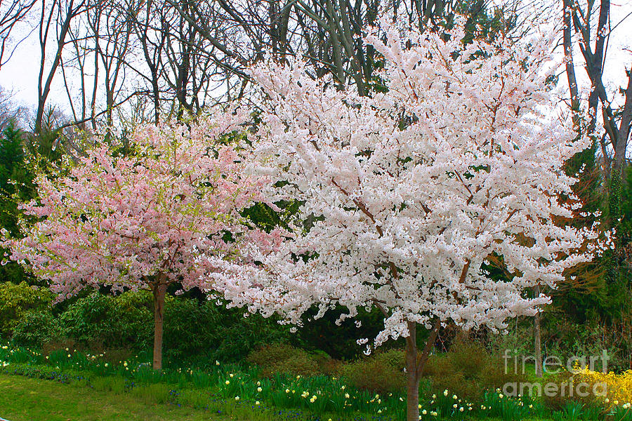 Spring Flowering Trees Digital Art