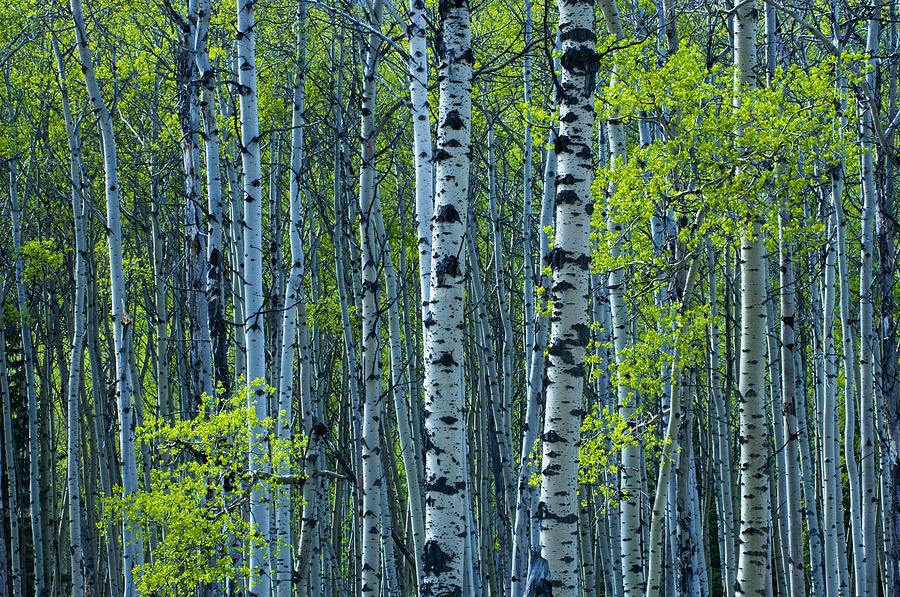 Spring foliage on aspen jasper photograph by mike for Aspen tree wall mural