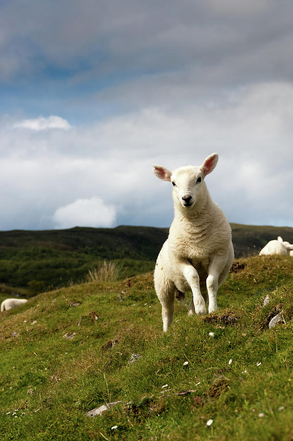 Spring Lamb On Hillside Photograph