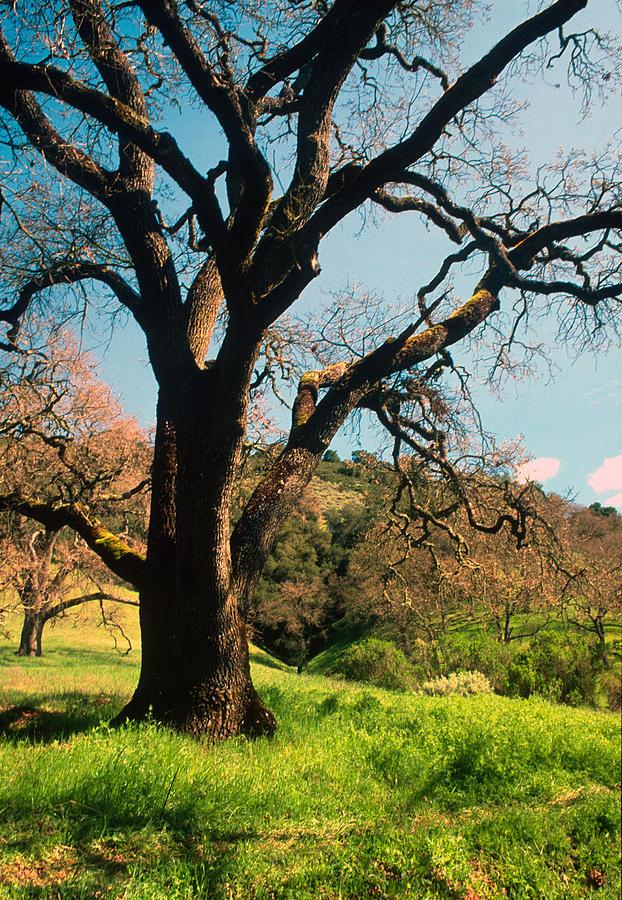 Landscapes Photograph - Spring Oak by Kathy Yates