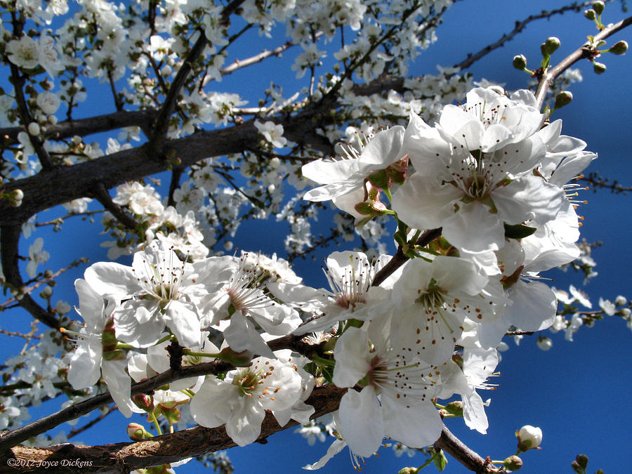 Pear Photograph - Spring Pear Blossoms 2012 by Joyce Dickens