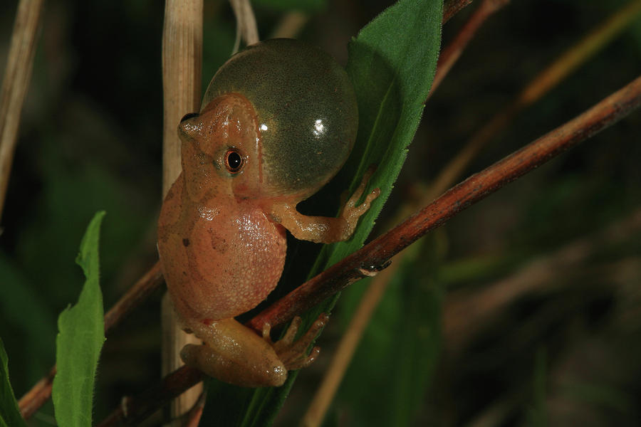 Spring Peeper Photograph