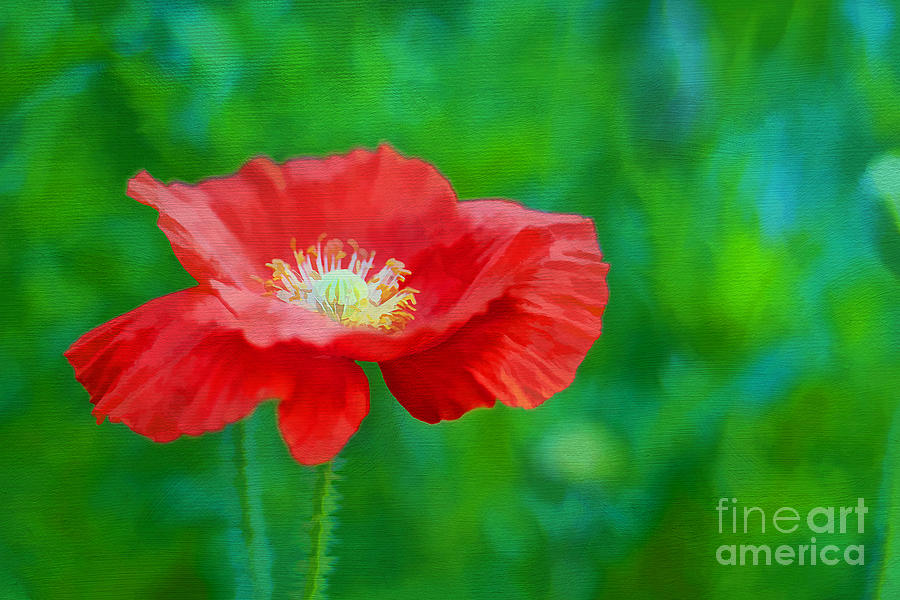 Agriculture Photograph - Spring Poppy by Darren Fisher
