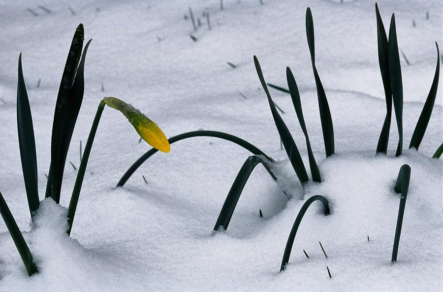 Spring Snow Coats The Daffodils Photograph