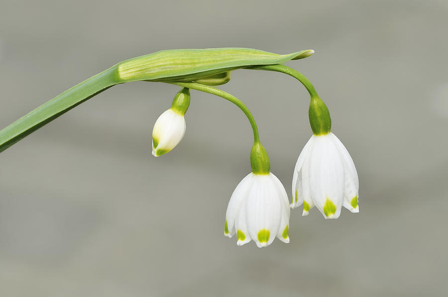 Spring Snowflake Leucojum Vernum Photograph
