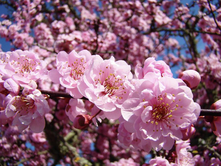 Pink flowers tree gallery flower decoration ideas pink flowers tree choice image flower decoration ideas tree pink flowers choice image flower decoration ideas mightylinksfo