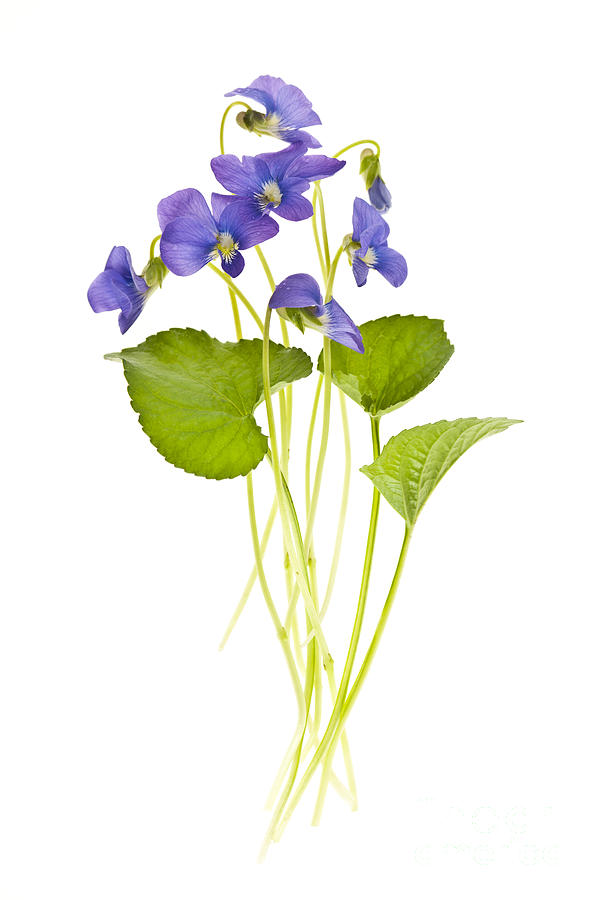 Spring Violets On White Photograph