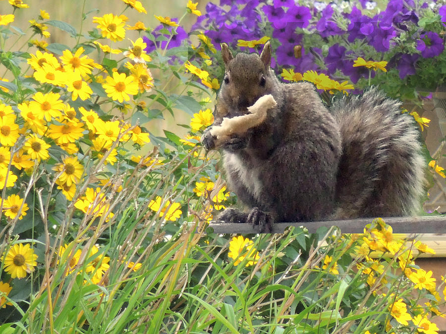 Squirrel   Photograph  - Squirrel   Fine Art Print