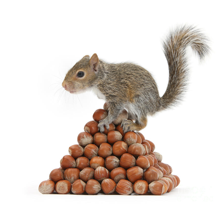 Squirrel And Nut Pyramid Photograph