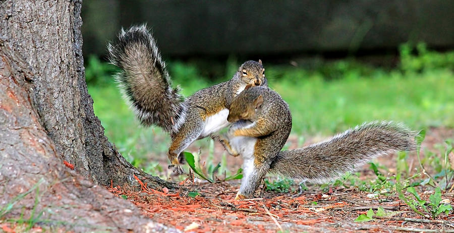 Squirrel Kung-fu  Photograph  - Squirrel Kung-fu  Fine Art Print