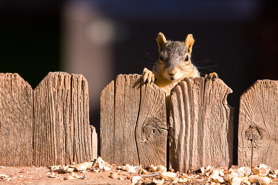 Squirrel On The Fence Photograph