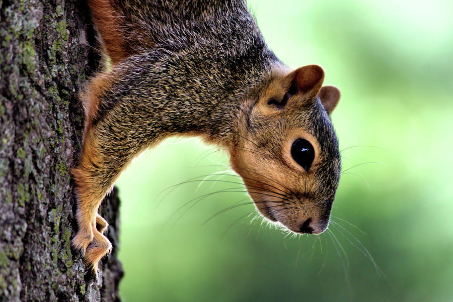 Squirrel Wiskers Photograph  - Squirrel Wiskers Fine Art Print