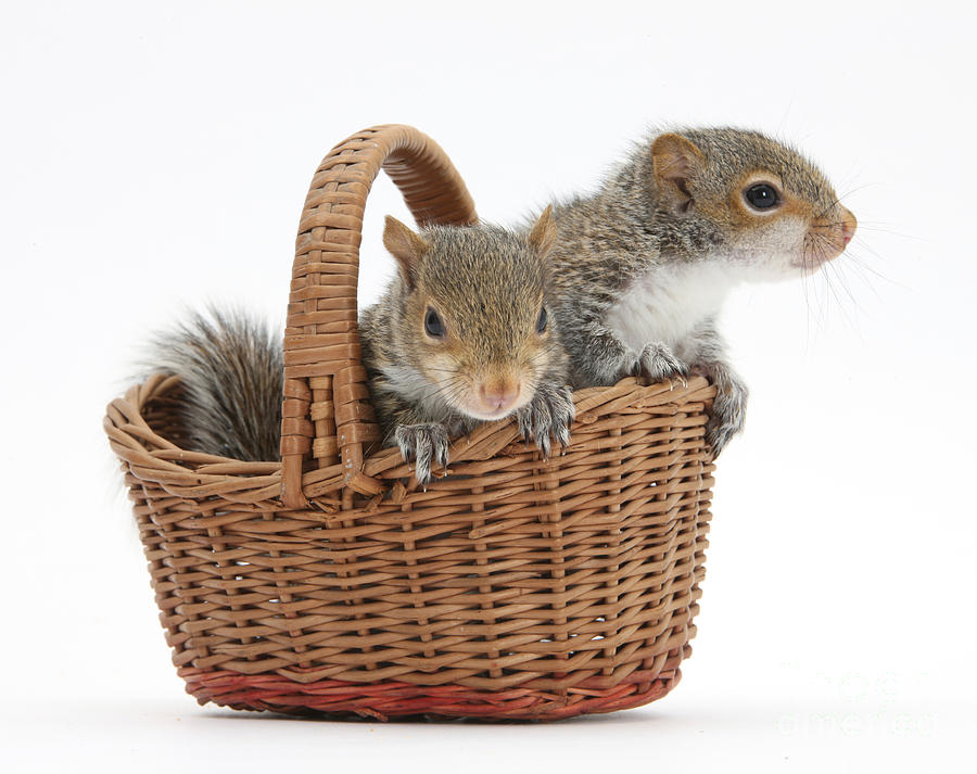 Squirrels In A Basket Photograph  - Squirrels In A Basket Fine Art Print