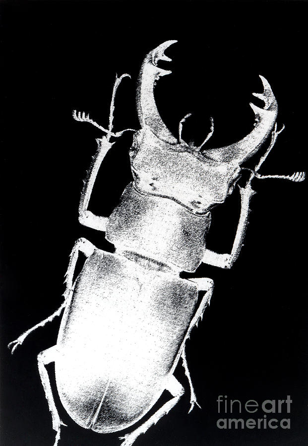 Stag Beetle Photograph