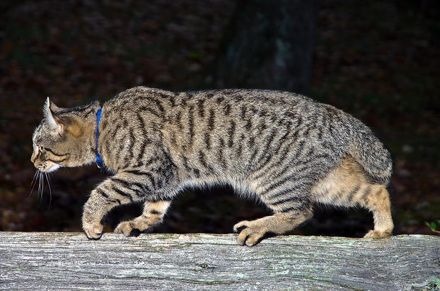 Cat Photograph - Stalker by Susan Leggett
